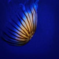 Jellyfish (1 of 1)